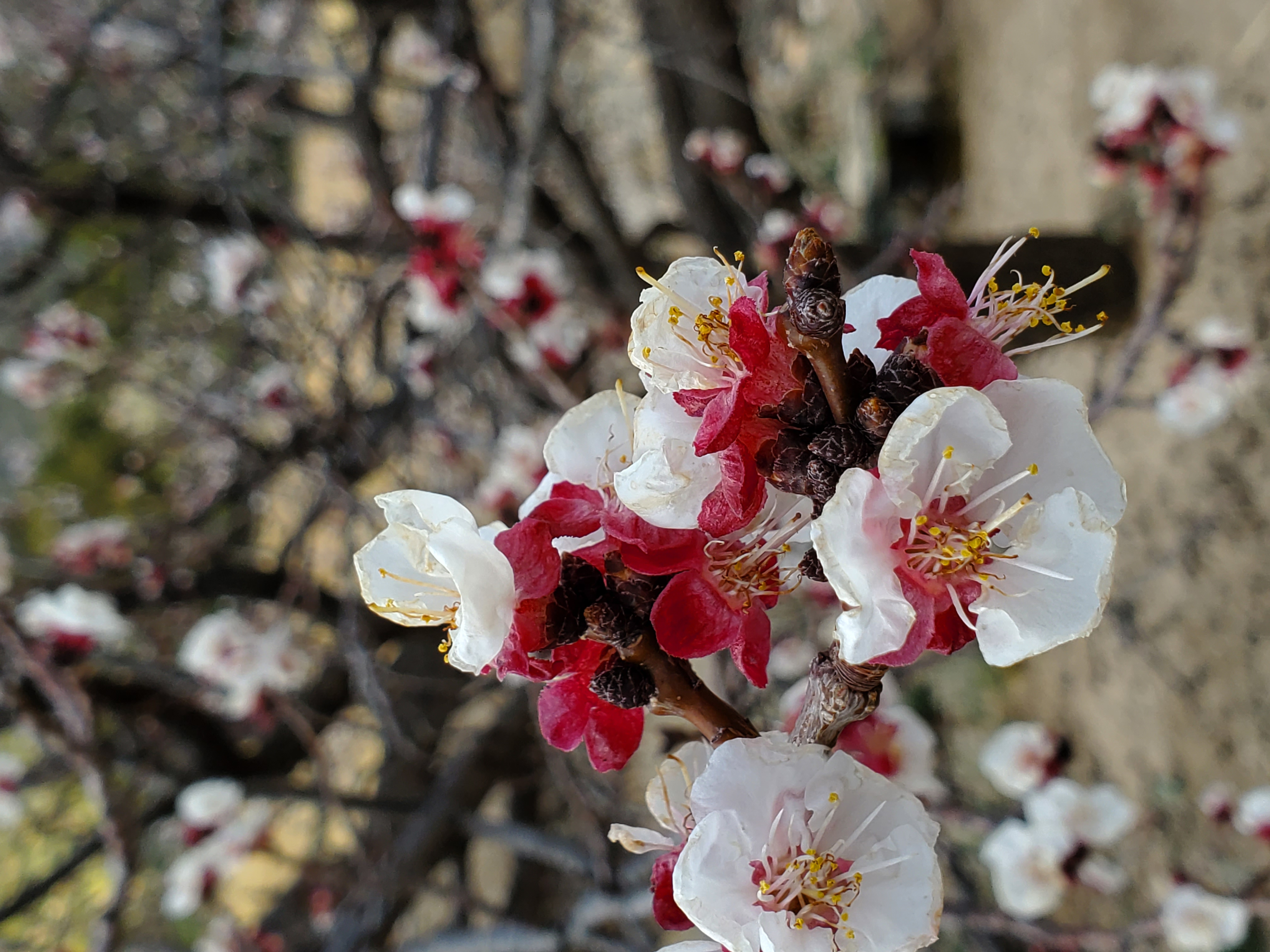 Apricot blooms