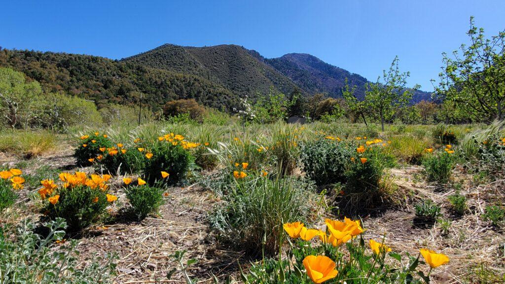 California Poppies April 2021